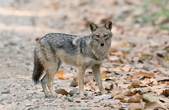animal, canis lupus tundrarum, gray wolf, red wolf, mammal, jackal, fauna, coyote, wildlife,