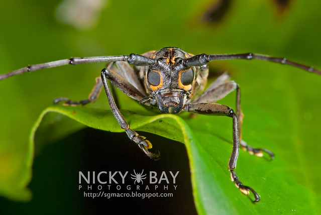 Longhorn Beetle (Epepeotes luscus) - DSC_5348