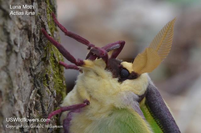 Luna Moth head - Actias luna