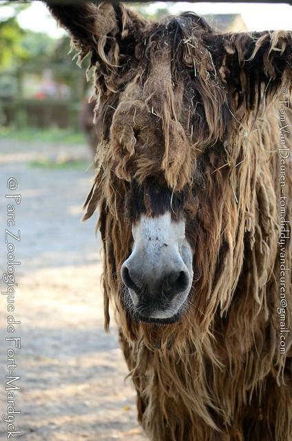 Poitou-Ezel - Equus asinus - Poitevin donkey