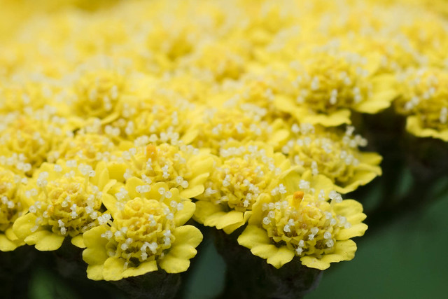 Yarrow Up Close