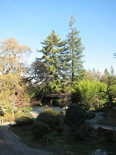 Hakone Japanese Gardens, Saratoga, CA, tree IMG_2367