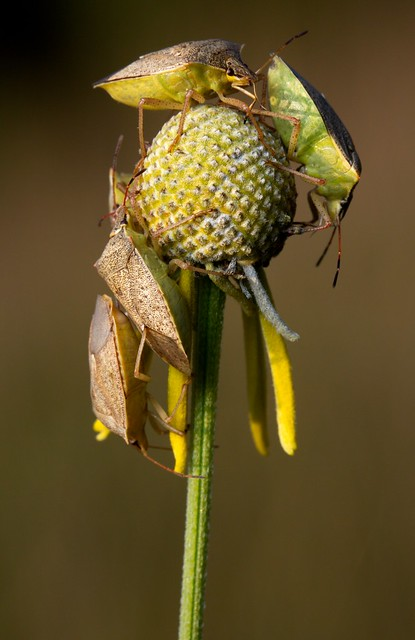 Stink bugs (Euschistus sp.?) on a Gray-headed Coneflower.  Photographed in the prairie restoration area at Afton State Park, Minnesota.