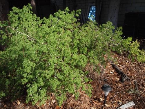 Garden Inventory: Ming Fern Asaparagus (Asparagaus retrofractus) - 1