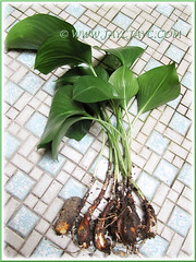 Proiphys amboinensis (Cardwell Lily, Northern Christmas Lily): propagation by division of offsets