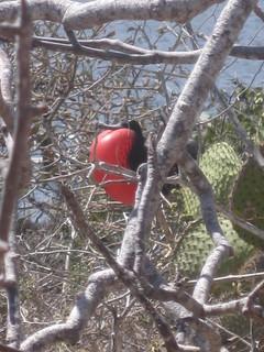 Red Frigate