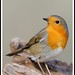 Modelito, Petirrojo (Erithacus rubecula) by Manuel G.S.