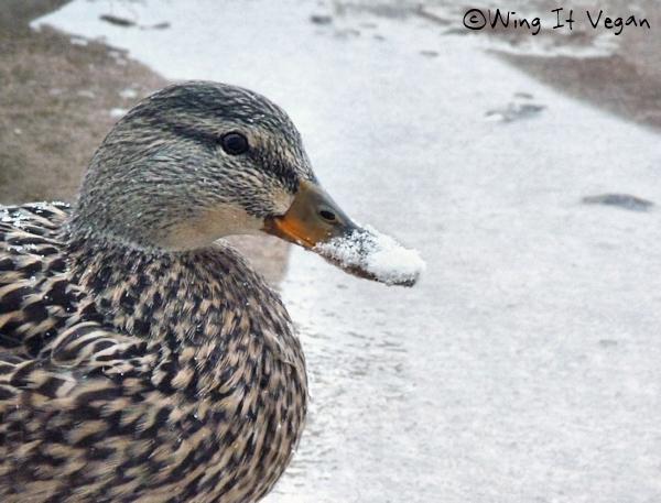 Snowy Duckie