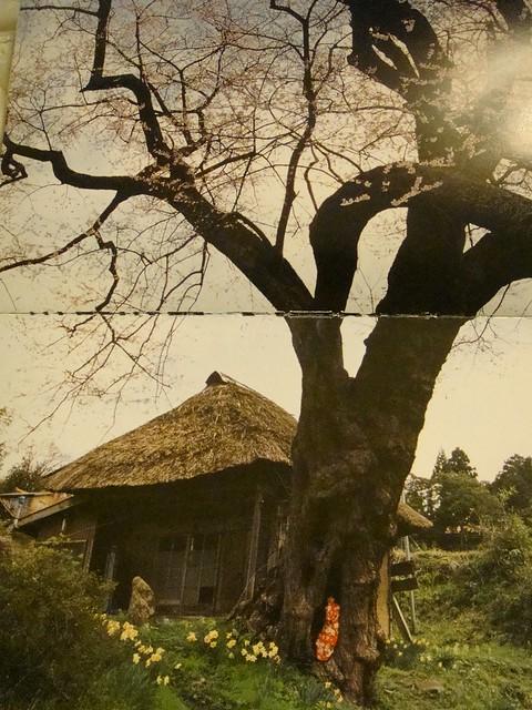 05 春天烂漫。高大古老的樱花树下,传统式样的日本农家住宅旁,洋水仙开放,精灵般的孩子躲在树洞里
