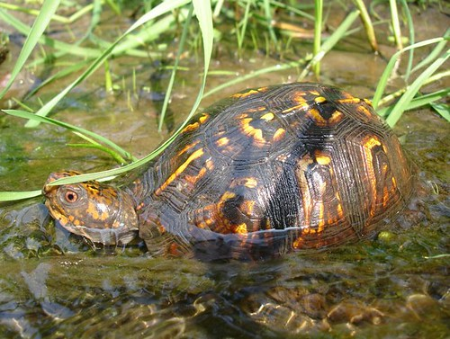 Image of a eastern box turtle