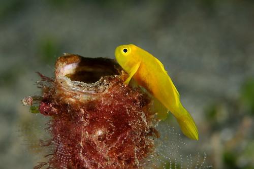 Gobiodon okinawae 黃體短鰕虎