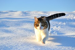 [Free Images] Animals (Mammals), Cats, Snow ID:201303031000
