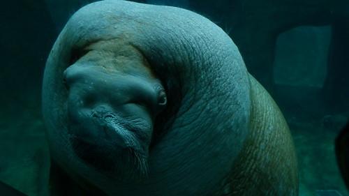 E.T. The Walrus
