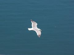 Mission Beach Sea Gull