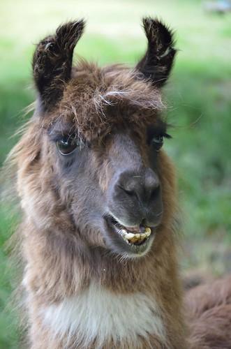 A kiwi llama by kewl