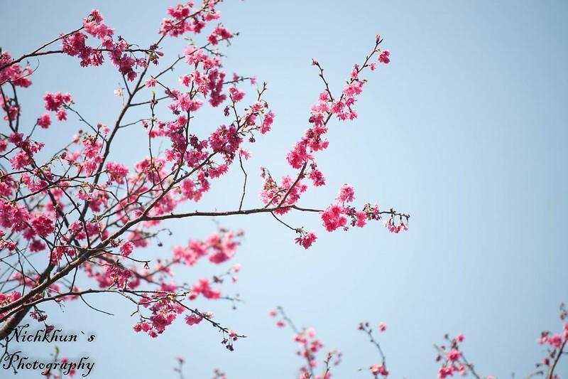 [北投]櫻花一張流