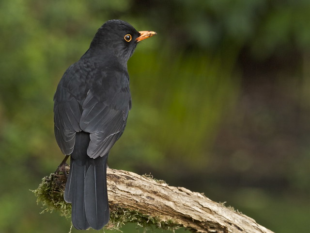 BLACKBIRD ( EXPLORE 11.03.13)