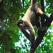 Primate Lagothrix lagotricha_06_