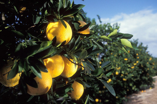Washington navel oranges growing in a Florida citrus grove.  Photo courtesy of ARS.
