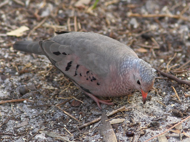 Common Ground-Dove 3-20130310