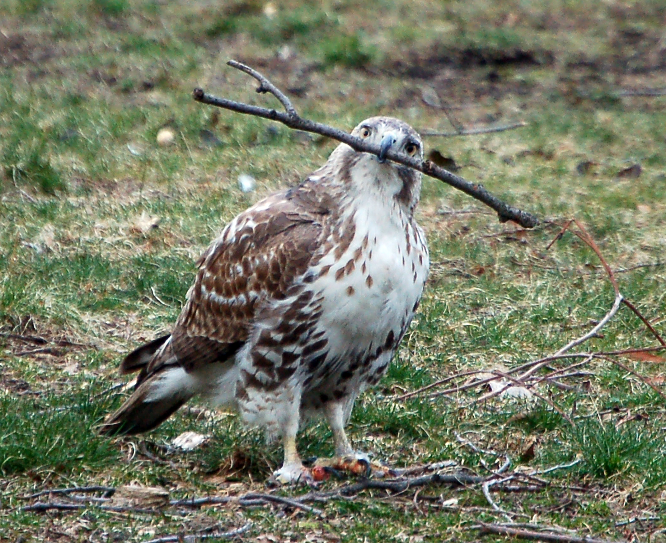 Hawk vs stick