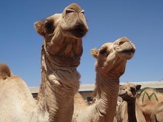 Camelos à venda no mercado de Hargeisa