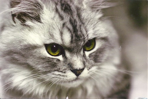 Beautiful Grey Cat