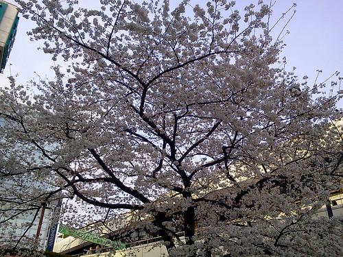 大宮アルシェビル前の桜