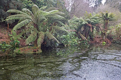 Tree ferns at Penjerrick
