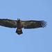 """Flight"" - Juvenile bald eagle - Staten Island, New York by superpugger"