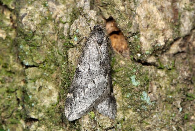Alsophila foedata