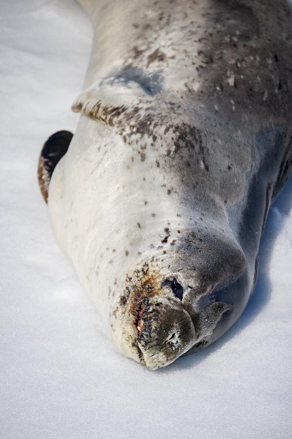 RYALE_Antarctica_Seals-4