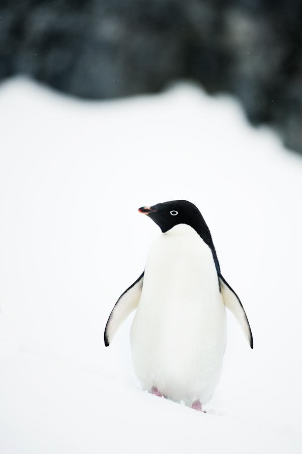 RYALE_Antarctica_Penguins-27