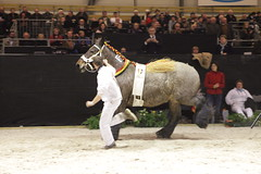western riding(0.0), bull(0.0), matador(0.0), performance(0.0), bullfighting(0.0), animal sports(1.0), cattle-like mammal(1.0), stallion(1.0), equestrian sport(1.0), equestrian vaulting(1.0), mammal(1.0), horse(1.0),