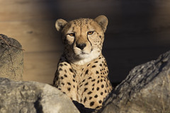 animal, cheetah, small to medium-sized cats, mammal, fauna, close-up, whiskers, wildlife,