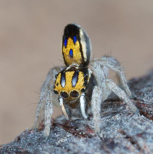 _X8A8895 Purcell's peacock spider (Maratus purcellae)
