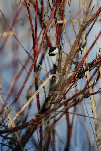 Chickadee on Dogwood_40387.jpg