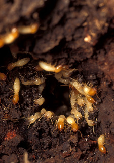 termites in seattle