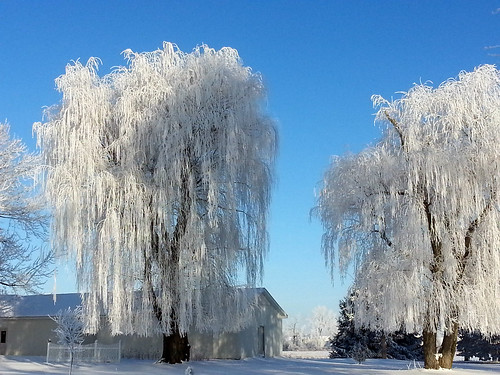 Natures Weeping Willow Drapes