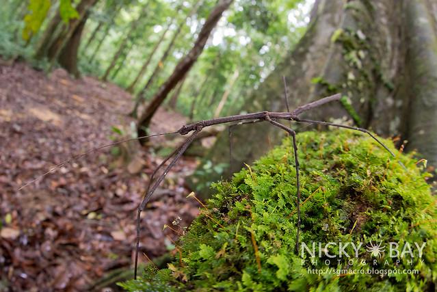 Stick Insect (Phasmatodea) - DSC_6306