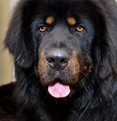 dog breed, animal, dog, hovawart, pet, tibetan mastiff, newfoundland, carnivoran,