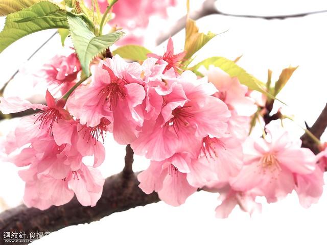 台北自來水園區櫻花