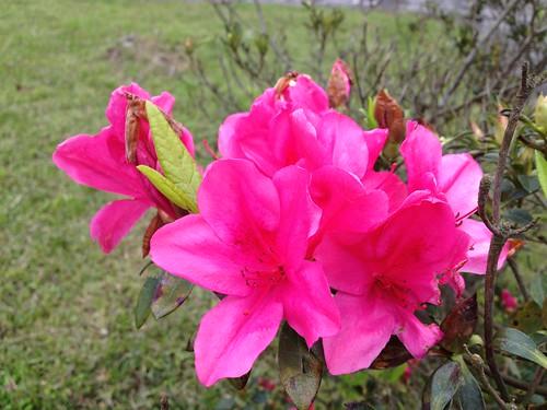 2013陽明山花季
