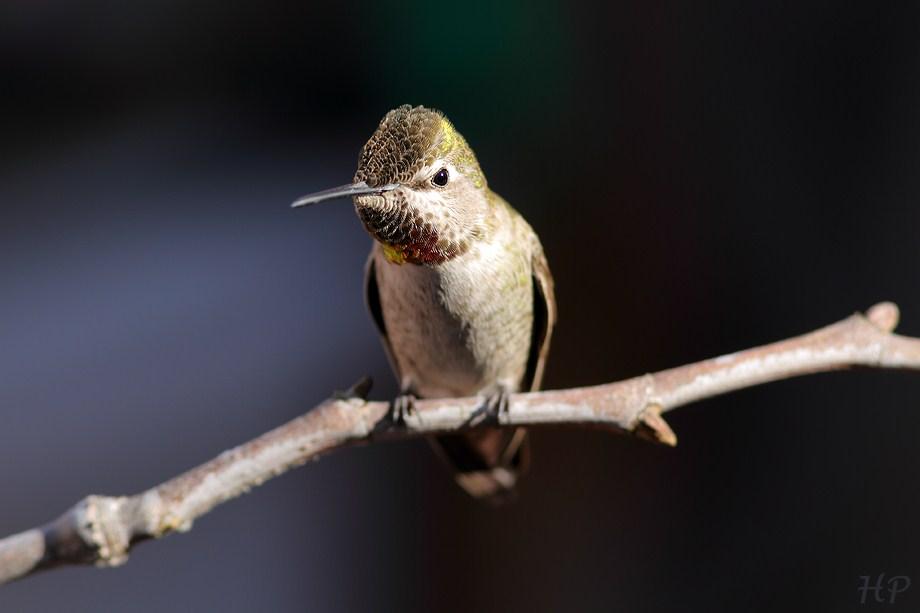Anna's Hummingbird 021413-2