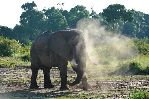 Elefant som dammar av sig