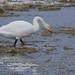 Whooper Swan (Malcolm Stott)