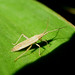 Small photo of Mirid Bug - Stenodema calcarata