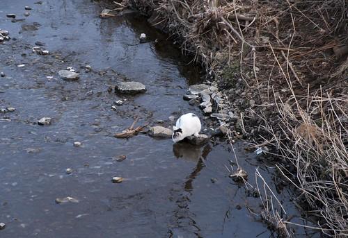 川で水飲む猫