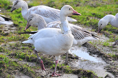 Snow Geese - Tracking Collar