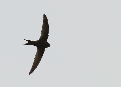 Tornseglare / Common Swift